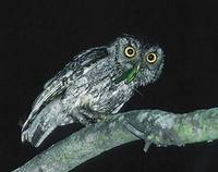 Eastern Screech-Owl (Otus asio) photo