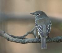 Least Flycatcher (Empidonax minimus) photo