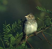 Cassin's Sparrow (Aimophila cassinii) photo