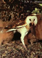 Australasian Grass-Owl - Tyto longimembris