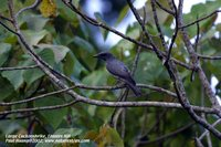 Large Cuckoo-shrike - Coracina macei