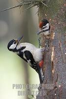 Great Spotted Woodpecker ( Dendrocopos major ) feeding chick stock photo