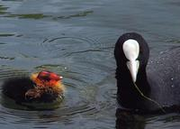 Another picture of a coot and its chick.