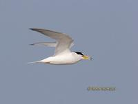 Little tern C20D 03480.jpg