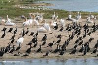 Great cormorants, Pink-backed pelicans, Great white pelicans on a Lake Edward/Kazinga Channel be...