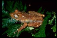 : Nyctixalus spinosus; Spiny Tree Frog