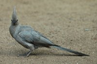 : Corythaixoides concolor; Grey Go-away Bird