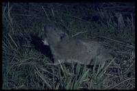 : Thomomys townsendii; Townsends Pocket Gopher