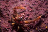 : Pugettia producta; Northern Kelp Crab
