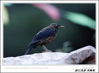 Turdus rubrocanus Grey-headed Thrush 灰頭鶇 074-009