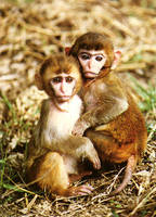 photograph of Assam macaques : Macaca assamensis