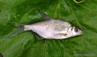 Blicca bjoerkna, White bream: fisheries, aquarium, bait