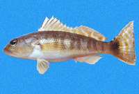 Diplectrum labarum, Highfin sand perch: