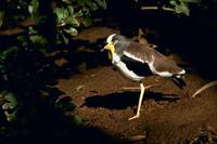 Vanellus albiceps - White-headed Lapwing