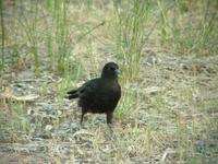 Corcorax melanorhamphos - White-winged Chough