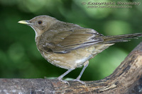 Turdus grayi - Clay-colored Thrush