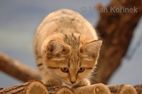 Felis margarita - Sand Cat