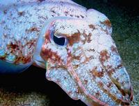 Image of: Sepia latimanus