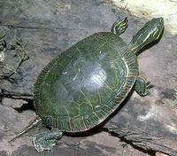 Image of: Chrysemys picta (painted turtle)