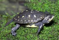 Image of: Clemmys guttata (spotted turtle)