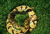 Image of: Crotalus horridus (timber rattlesnake)