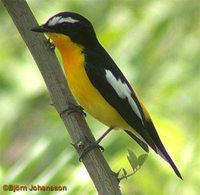 Yellow-rumped Flycatcher - Ficedula zanthopygia