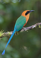 Rufous Motmot (Baryphthengus martii) photo