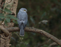 Frances' Sparrowhawk (Accipiter francesii) photo