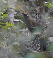 Red-fronted Coua (Coua reynaudii) photo