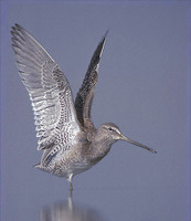 Long-billed Dowitcher (Limnodromus scolopaceus) photo