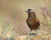 Gray-crowned Rosy-Finch (Leucosticte tephrocotis) photo