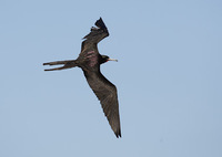 Magnificent Frigatebird (Fregata magnificens) photo