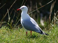 Red-billed Gull - Larus scopulinus