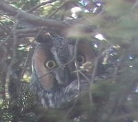 Northern Long-eared Owl - Asio otus