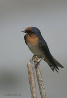 Pacific Swallow - Hirundo tahitica
