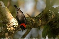 Red-headed Malimbe - Malimbus rubricollis