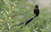 Red-collared Widowbird - Euplectes ardens