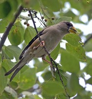 Yellow-billed Grosbeak - Eophona migratoria