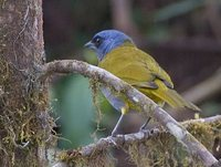 Blue-capped Tanager - Thraupis cyanocephala