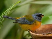 * Blue-Yellow Tanager