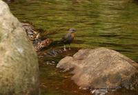 NEW Rufous-throated Dipper
