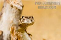 Photo of a Western Diamond Back Rattlesnake stock photo