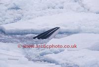 ...FT0140-00: Antarctic Minke Whale, Balaenoptera bonaerensis, surfaces amongst pack ice. Antarctic