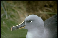 : Diomedea chrysostoma; Grey-headed Albatross