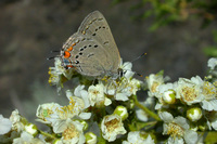 : Satyrium californica; Western Hairstreak