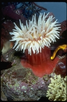 : Tealia piscivora; Fish Eating Anemone
