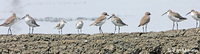 Curlew Sandpiper- Mongolian Plovers-Red-necked Stint