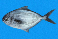 Peprilus snyderi, Salema butterfish: