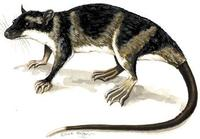 Image of: Chironectes minimus (water opossum)