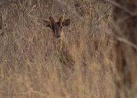 Image of: Muntiacus muntjak (Indian muntjac)